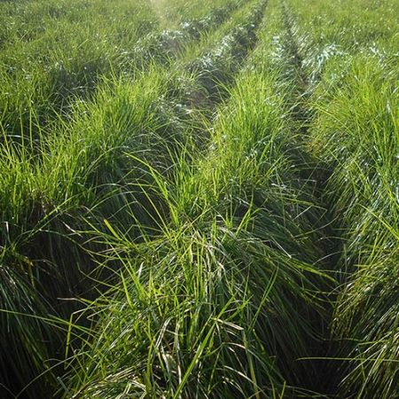 Erdmandel Pflanzen Anbau